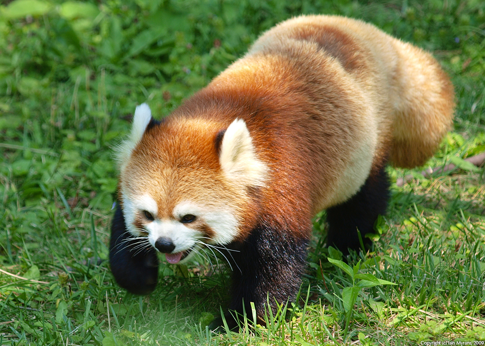 photoblog image Red Panda