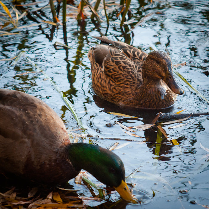 photoblog image Two Ducks.