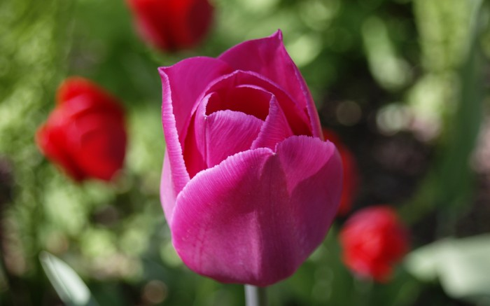 photoblog image The Pink Tulip
