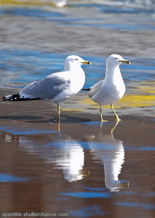 photoblog image Reflecting Gulls
